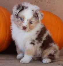 australian shepherd p another darla later but need half doodle again pretty red merle