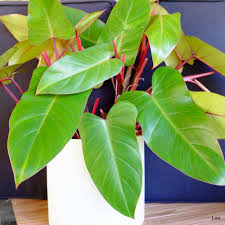 philodendron house plants ebay