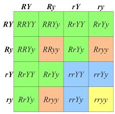 Dihybrid Cross Punnett Square Worksheet Open Genetics Cubocube