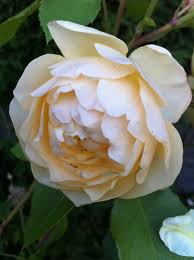 the blackberry garden the yellow rose of texas