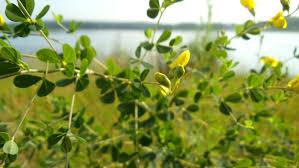 native edible plants david hoffman forageporage u0027s blog