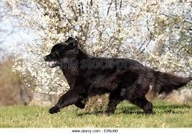 australian shepherd newfoundland newfoundland dog running stock photos u0026 newfoundland dog running