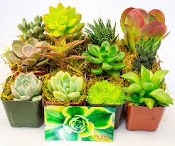 succelents how to grow succulents in pots