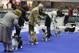 afghan hound national dog show the national dog show everything you need to know american