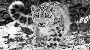 45 snow leopard wallpapers hd quality snow leopard images snow