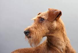 celebrating st patrick u0027s day with irish dog breeds petmd