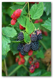 How To Plant A Vegetable Garden In Your Backyard by Growing Blackberries In Your Own Garden Or Backyard