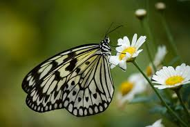 black and white butterfly on a photograph by pixie copley