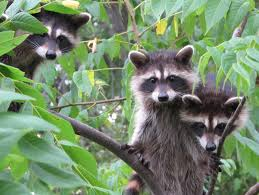 blue jay barrens young raccoons