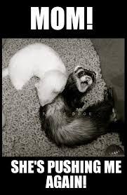 Ferret Meme - 15 hilarious and adorable ferret memes i can has cheezburger