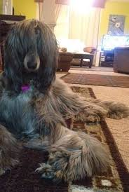 afghan hound dogs 101 dsc00921 1 samurai monkey and afghan hound