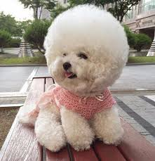 bichon frise 17 years old south korean bichon frise shares the secret behind her perfectly