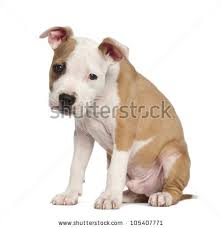 2 month old american pitbull terrier american staffordshire terrier stock images royalty free images