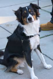 australian shepherd kid friendly australian shepherd bernese mountain dog mix google search