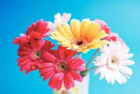 gerbera colors colors of gerbera daisies home guides sf gate