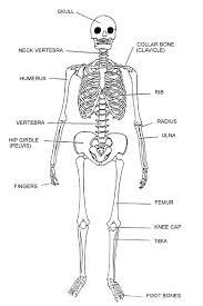 Anatomy Of The Human Skeleton Label The Human Skeleton K 5 Computer Lab
