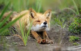 22 photos fall love foxes bored panda