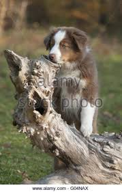 australian shepherd underbite pedigree dogs paws up stock photos u0026 pedigree dogs paws up stock