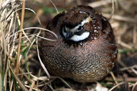 northern bobwhite quail
