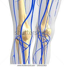 3d Knee Anatomy Knee Arteries Lymphatic System Human Anatomy Stock Illustration