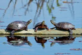 Texas Map Turtle Fish Tank Green Water In Turtle Tank Map Size Unbelievable Images