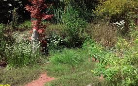 lemon verbena lady u0027s herb garden