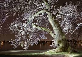 gorgeous light paintings of d c s cherry blossoms at