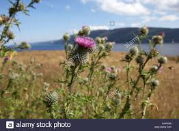 scottish thistles growing wild near loch ness highland scotland uk