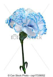 blue carnations blue carnation isolated on white background stock images search