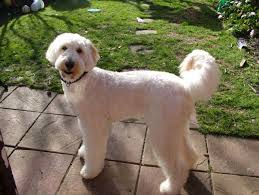 labradoodle hairstyles pictures labradoodle haircuts hairstyles ideas