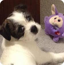 australian shepherd yorkie moe adopted puppy allentown pa boston terrier yorkie