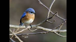 eastern bluebird hd youtube