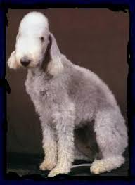 bedlington terrier guide directory of dogs dog dictionary reference guide to terrier
