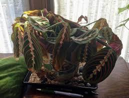 House Plants Diseases - maranta prayer plant problems u2013 what to do when prayer plants turn