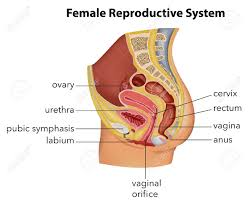 Perineum Anatomy Female Perineum Images U0026 Stock Pictures Royalty Free Perineum Photos And