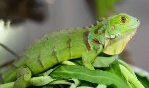 imágenes de iguanas verdes cuál es el mejor alimento para iguanas verdes te lo contamos