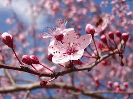 Cute Flower Wallpapers - flower spring blossoms fragrance tree scent freshness lovely