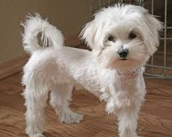 haircutsfordogs poodlemix gallery for maltipoo haircut pictures for the love of dogs