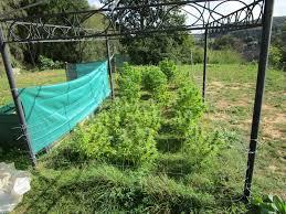 cannabis im garten cannabis im garten angebaut blaulichtreport saarland de