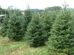places near boston to find the perfect christmas tree the boston