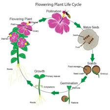 flowering plants life cycle