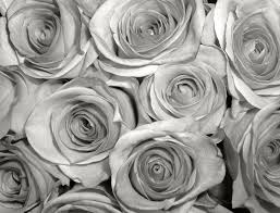silver roses image gallery silver roses