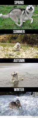 Siberian Husky Meme - siberian huskies pros cons