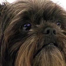affenpinscher and chihuahua nauvoo il affenpinscher meet tess in nauvoo il a dog for