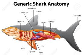 tiger shark clipart gills pencil and in color tiger shark