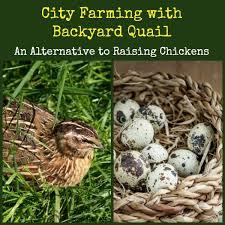 Backyard Chickens Magazine City Farming With Backyard Quail An Alternative To Raising
