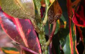 Tropical Plant Diseases - croton scale attacking more than 70 plants youtube