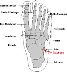 Anatomy Of A Foot About Oh Physiotherapy Anatomy Of The Foot