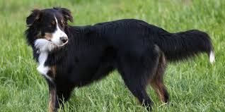 australian shepherd dog names english shepherd information characteristics facts names