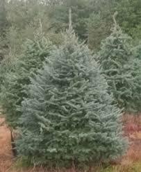 trees for sale at balsam ridge tree farm